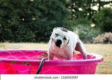 A white and black dog in a pink kiddie pool outside shaking off water. Action shot. Trees in the background. Puppy staying cool during summer heat.