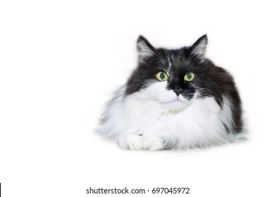White and black fluffy cat isolated on white background, copy space