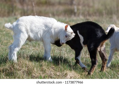 White and black goatling fight in the meadow