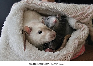 White, black and gray rat in hat, pink ears and paws, end of tail next to head, dark eyes, cute mouth