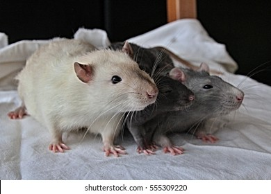 White, black and gray rat in line on sheet, norway rat, pink paws and ears, soft fur, dark eyes
