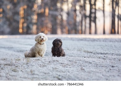 White and black havanese dog playing in frost on meadows in winter