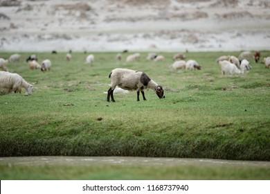 White and black Kashmir Himalaya sheep eating grass in highland plateau