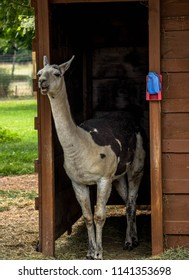 White and black Lama Hanging out of his barn in the pasture: Chewing and doing lama things