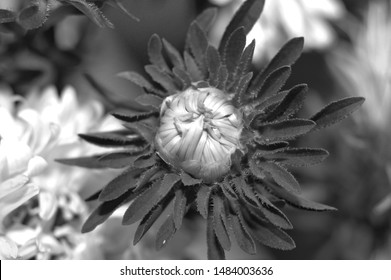 White and black photo of Aster bud. Flower background. Asteraceae.