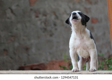 Indian Puppy Images, Stock Photos & Vectors | Shutterstock