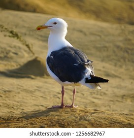 A white and black seagull standing on the sand