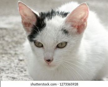 White and Black Spotted Cat. Black and White Tomcat. White Kitten with Black Tail, Fringe and Stain on Snitch.