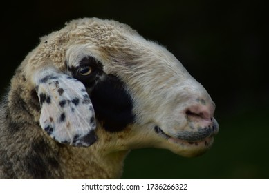 white and black spotted sheep with dark background from side view
