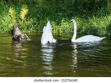 White and black swans diving for food