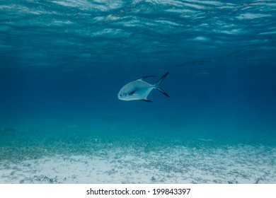 White and Black tailed Permit fish, Trachinotus falcatus, swimming in Caribbean sea off  barrier islands in Belize