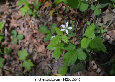 White Blackberry Blossom in Forest