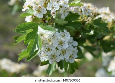 white blackthorn flowers in spring