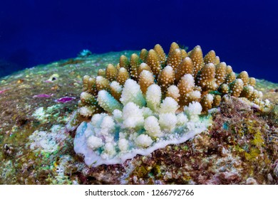 White, bleaching coral during a high sea temperature bleaching event on a tropical coral reef