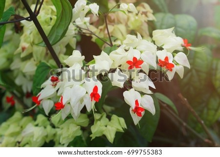 White Bleeding Heart Flower Stock Photo Edit Now 699755383