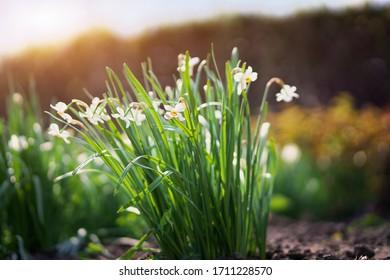 jonquilles blanches en fleurs dans le jardin
