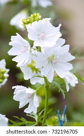White blooming Musk Mallow (Malva moschata 'Alba')