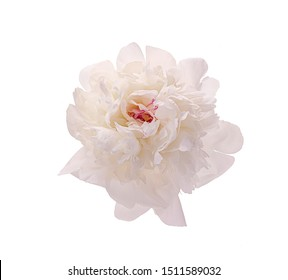 White blooming peony without a background. Isolate on white background