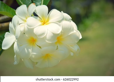 the white blooming plumeria flowers in the garden