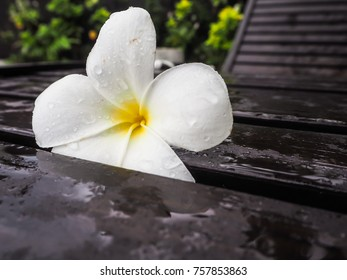 White blooming Plumeria or frangipani flower covered with water drops on a wooden lounge bed, Bali