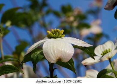 White Blossom of Dogwood Tree
