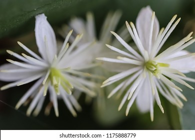 White blossom of lenton grapes (clematis grapefruit, old man's beard, traveller's joy, Clematis vitalba, Ranunculaceae). Close-up. Macro. Soft focus effect.