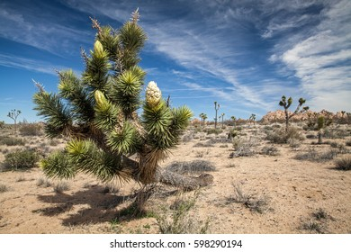 White blossom on a joshua tree in Joshua Tree National Park, USA