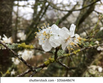 White blossom on tree, Newbury, Berkshire, England