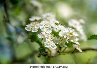 White blossom in spring, closup