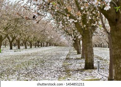 White blossom trail during spring in Fresno, California