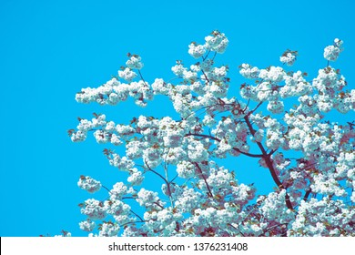 White blossom tree before light-blue clear sky