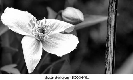 white blossom wallaper