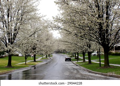 white blossomed trees line up a street