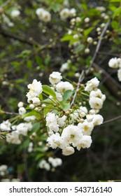 White blossoming cherry flower tree branch