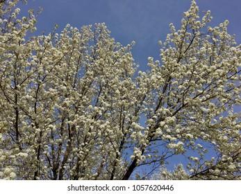 White blossoms against a blue sky.