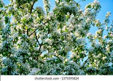 White Blossoms Against a Blue Sky