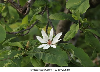White blossoms are blooming against a green background on a magnolia tree.