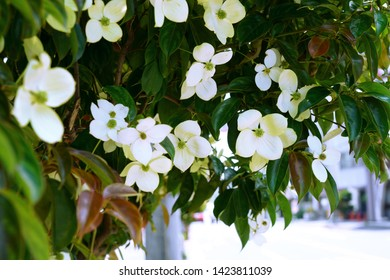 White blossoms of Kousa Dogwood (Benthamidia japonica)