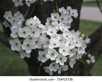 White Blossoms on a Bradford Pear Tree