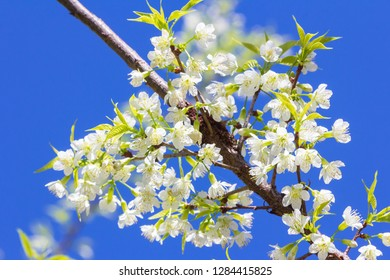 White blossoms on the branch with blue sky during spring blooming. Branch with pink sakura blossoms and blue sky background. Blooming cherry tree branches against a cloudy blue sky