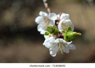 White blossoms on a fruit tree in Spring.