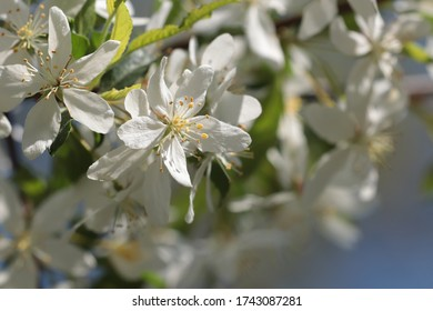 White blossoms on a Golden Raindrops crabapple tree (Malus transitoria) dazzle the eye on a spring day in May 2020.