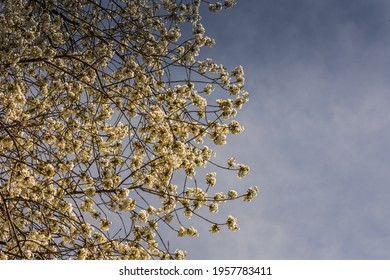 white blossoms on a tree with blue skyin the spring