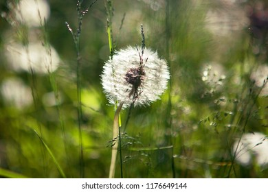 White blowball against green background, close up