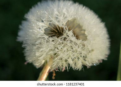 White blowball on a black background