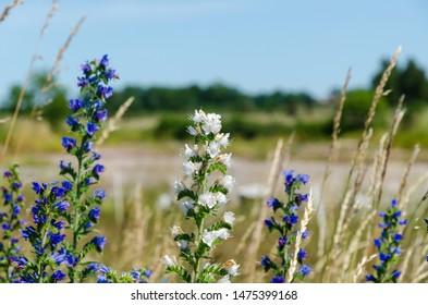 White and blue blueweed flowers close up at the swedish island Oland