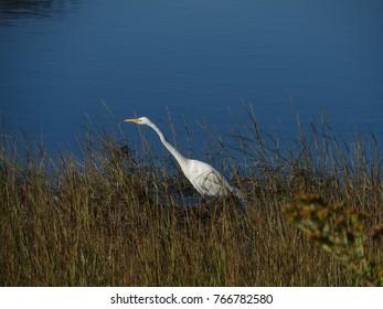 White Blue Heron
