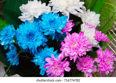 White, blue and pink chrysanthemum in a flower shop. A bouquet of chrysanthemums. Chrysanthemum Flower.