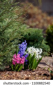 White, blue and pink hyacinth flowers in spring flowerbed. Blooming in garden
