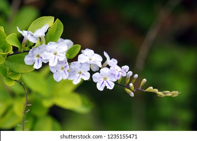 White and blue striped Forget-me-not flower branch